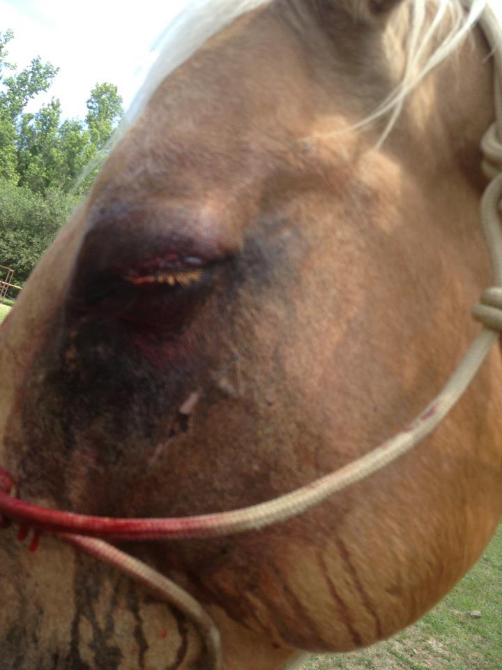 horse eyelid laceration after