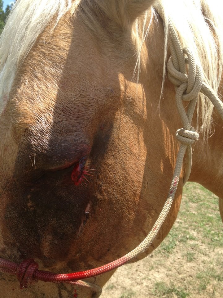 horse eyelid laceration before