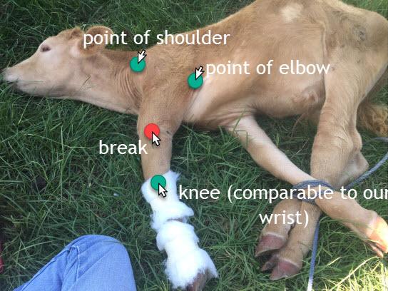 calf leg